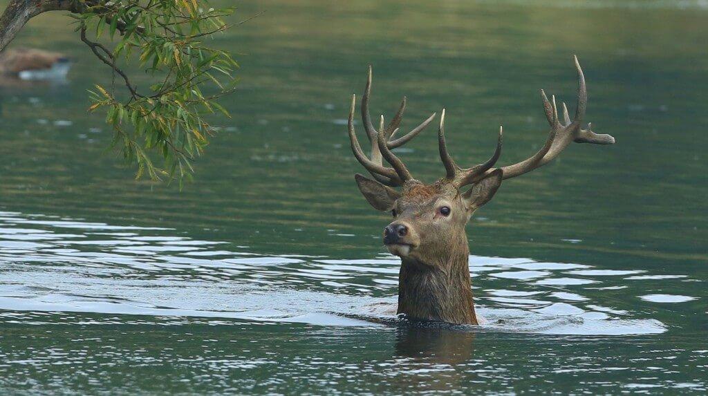 Wie viele andere Tiere können Hirsche unverbaute Gewässer problemlos überqueren